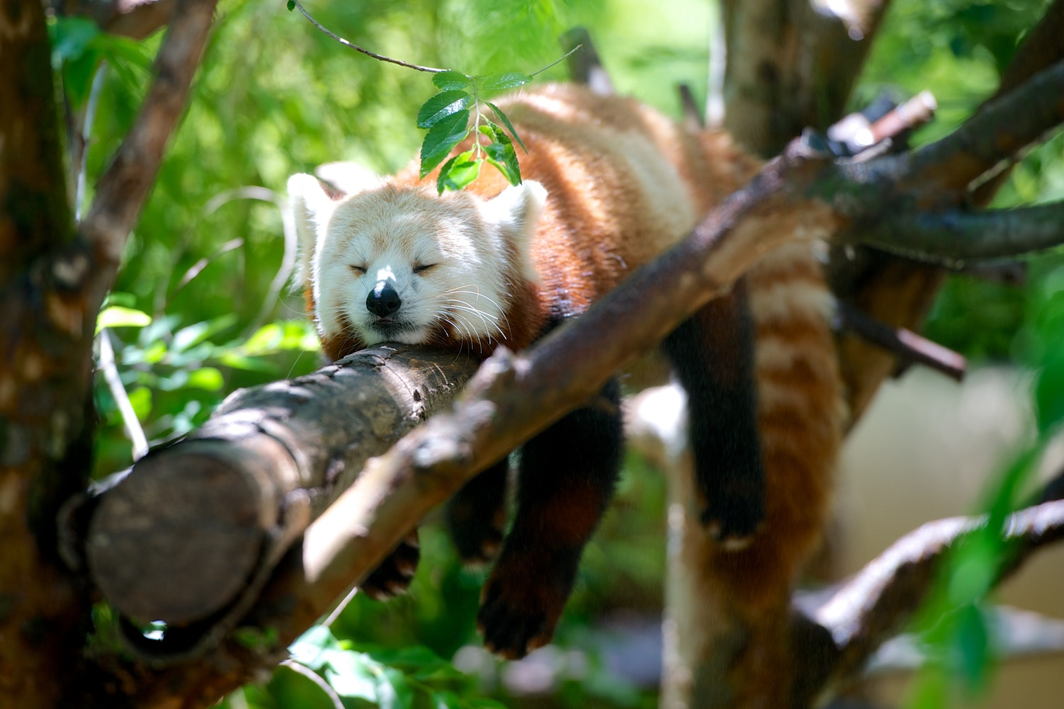 red panda by Lance Anderson